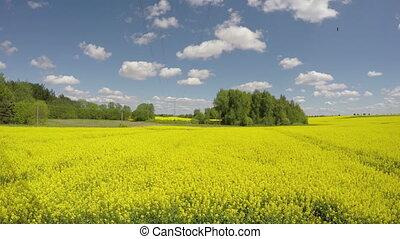 beautiful rapeseed summer field