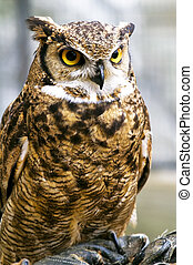 eagle owl, Bubo bubo - Beautiful raptor European eagle owl, ...