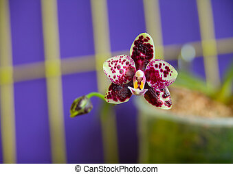 Phalaenopsis th's pit viper Stock Photo Images  17