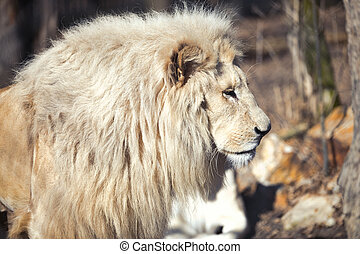 Beautiful rare white lion in wild life king of animals
