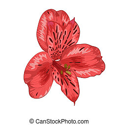 Beautiful red alstroemeria flower isolated on white...
