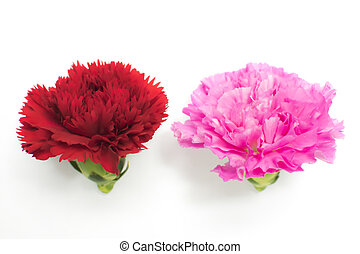 Beautiful red and pink carnation.