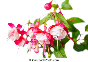 beautiful red and white fuchsia flower is isolated on the white