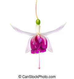 beautiful red and white fuchsia flower is isolated on white bac