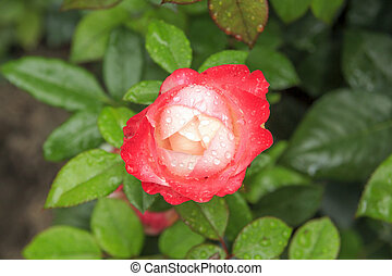 Beautiful red and white rose in garden after rain.