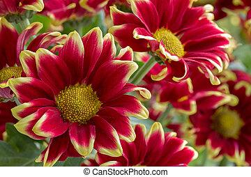 Beautiful red and yellow chrysanthemun flowers