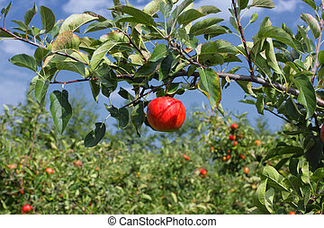 Beautiful red apple on a branch under a blue sky