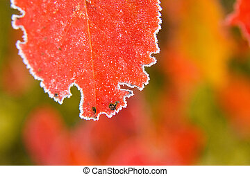 Beautiful red aronia leaves with a frosty edge. Morning sceney in the garden. Autumn morning with bright red leaves.