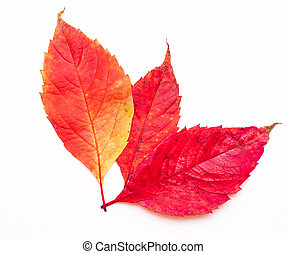 red autumn leaves on a white background
