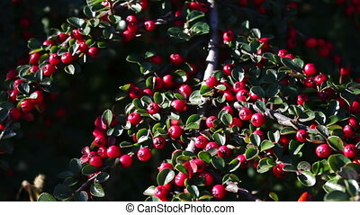 beautiful red berries on bush