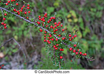 Beautiful red berries ripen on the branches