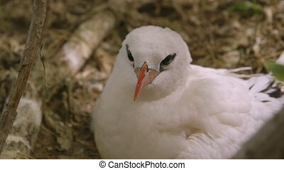 Beautiful Red-Billed Seabird, Lady Elliot Island