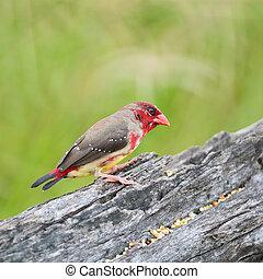 Beautiful red bird, juvenile male Red Avadavat (Amandava amandava) on the breeding plumage season, side profile