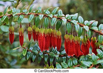 Close-up of beautiful red blooming Agapetes Serpens flowers