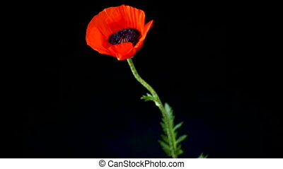 beautiful red blooming poppy flower isolated on black...