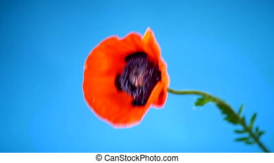beautiful red blooming poppy flower isolated on blue...