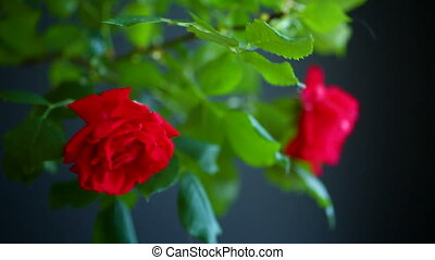 beautiful red blooming roses on a black background