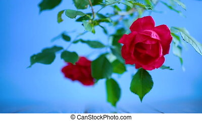 beautiful red blooming roses on a blue background