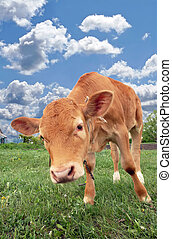 Beautiful red calf in a meadow on the background of the cloudy sky