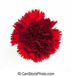 Beautiful red carnation.