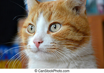 Beautiful red cat. Muzzle close-up. The cat looks away.