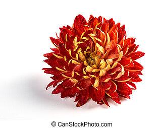 beautiful red chrysanthemum flower on white
