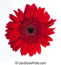 Beautiful red chrysanthemum on white background.