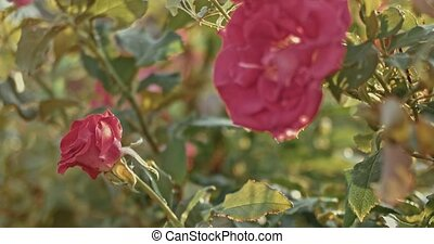 Beautiful red climbing roses wilting in autumn in the garden...