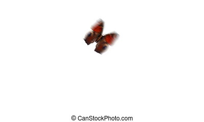 Beautiful Red Colored Butterfly European Peacock Aglais io Flying and Sitting on White and Green Background Close-up. Loopable 3d Animation with Green Screen Alpha Channel. 4k UHD 3840x2160.