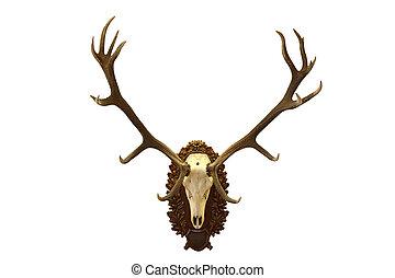 beautiful red deer  hunting trophy
