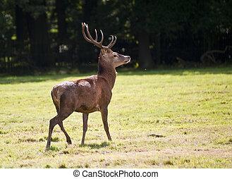 Beautiful red deer stag during rut season in Autumn Fall