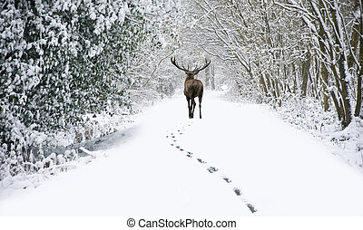 Beautiful red deer stag in snow covered festive season...