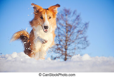 dog border collie playing in winter