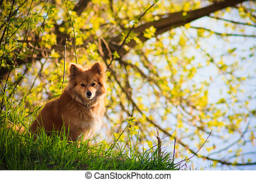 Beautiful red dog in a field