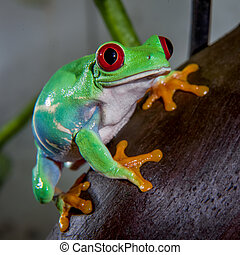 Red eyed tree frog isolated on white. Agalychnis callidrias a tropical amphibian from the rain forest of Costa Rica and Panama. Beautiful jungle animal.