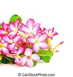 Impala Lily - Beautiful red flower, blossom of Desert Rose-...
