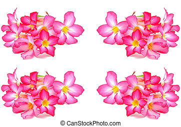 Impala Lily - Beautiful red flower, Impala Lily, isolated on...