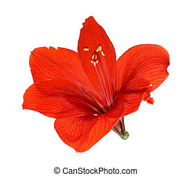 Beautiful red flower isolated on a white background