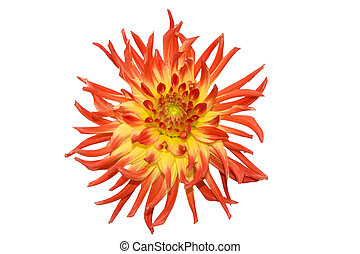 Beautiful red flower on white background