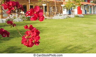 beautiful red flowers bougainvillea in a tropical garden...