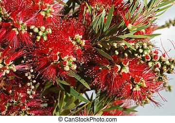 beautiful red flowers Callistemon closeup. Horizontal - ...
