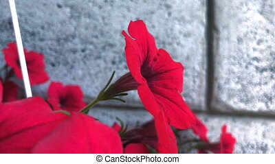 beautiful red flowers in a pot - close up of beautiful red...