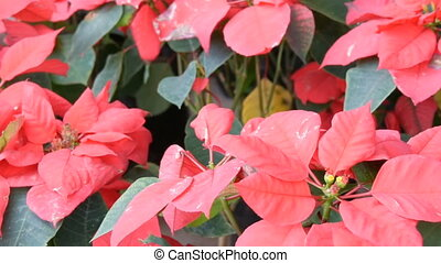 Beautiful red garden flowers in greenhouse or botanical...