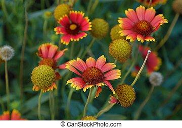 Beautiful red gerbera daisies in a summer garden