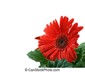 Beautiful red Gerbera Daisy with a clipping path