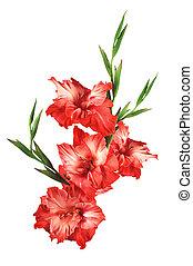 beautiful red gladiolus isolated on white background