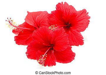 red Hibiscus - Beautiful red Hibiscus flower, isolated on a ...