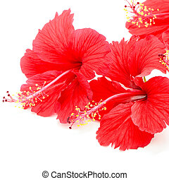 Beautiful red Hibiscus flower, isolated on a white background