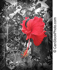 Hibiscus Rosa Sinensis - Beautiful Red Hibiscus Rosa ...