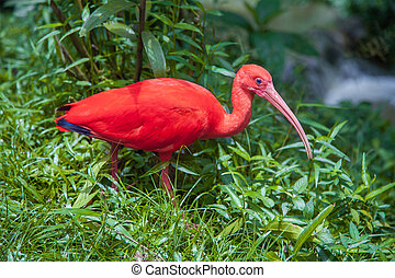 beautiful red ibis bird in green grass
